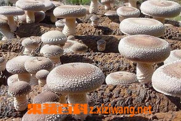 果蔬百科家庭香菇种植